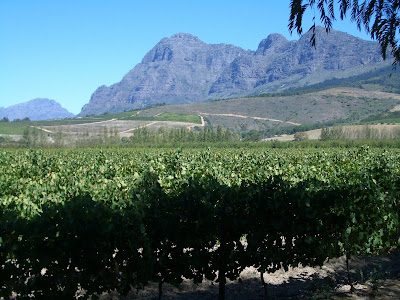 Backsberg vineyards seen from access road