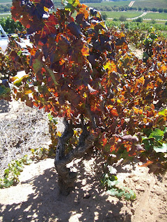OLd Pinotage vine at Kanonkop