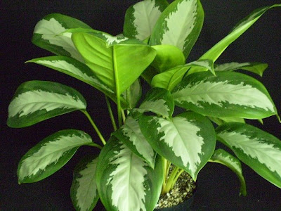 plantas purificadoras de interior Evergreen Chino