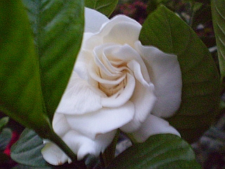 Plants are the strangest people messenger of god gardenia jasminoides plants are the strangest people mightylinksfo