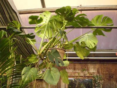 Plants Are The Strangest People Athlete Monstera Deliciosa