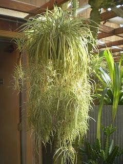 plants are the strangest people single mother chlorophytum comosum. Black Bedroom Furniture Sets. Home Design Ideas