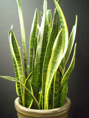 in law s tongue snake skin plant our sansevieria the mother in law