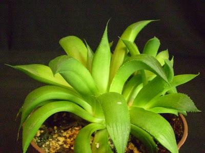 Plants are the Strangest People Pal Haworthia spp