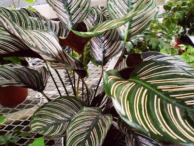 Plants are the Strangest People Femme Fatale Calathea ornata