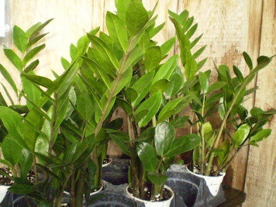 Plants are the strangest people stoner zamioculcas for Plante zanzibar