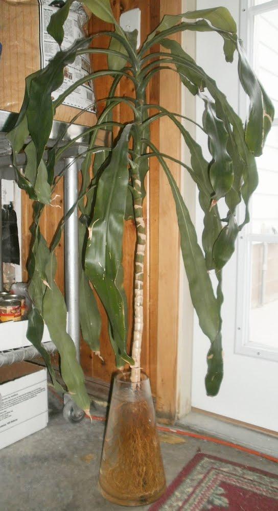 Plants Are The Strangest People Stupid Plant Tricks Dracaena Fragrans