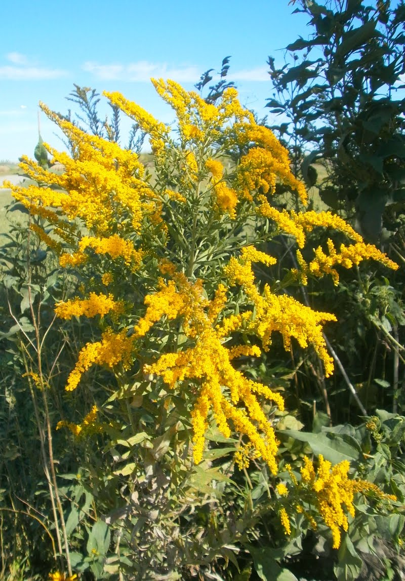 Planting Goldenrod In The Garden: Plants Are The Strangest People: Pretty Pictures: Solidago