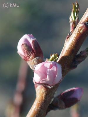 Nectarine Bud