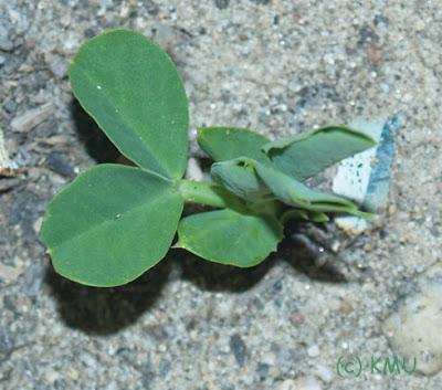 Sugar Snap Pea Seedling