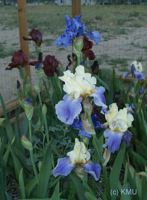 Bearded Iris Grouping
