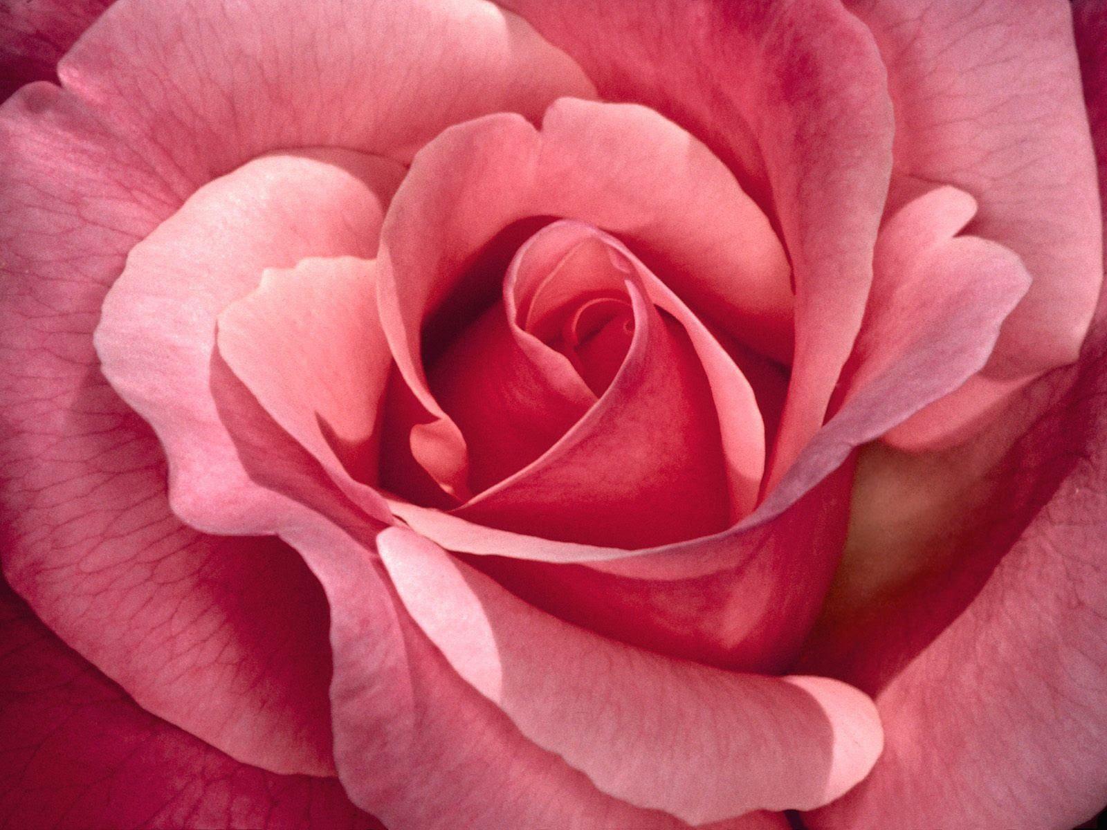 MariaJose: Rosas