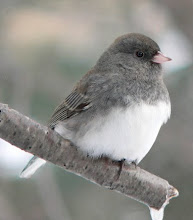 Tiny junco