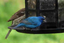 Indigo Bunting and female Rose Breasted Grosbeak