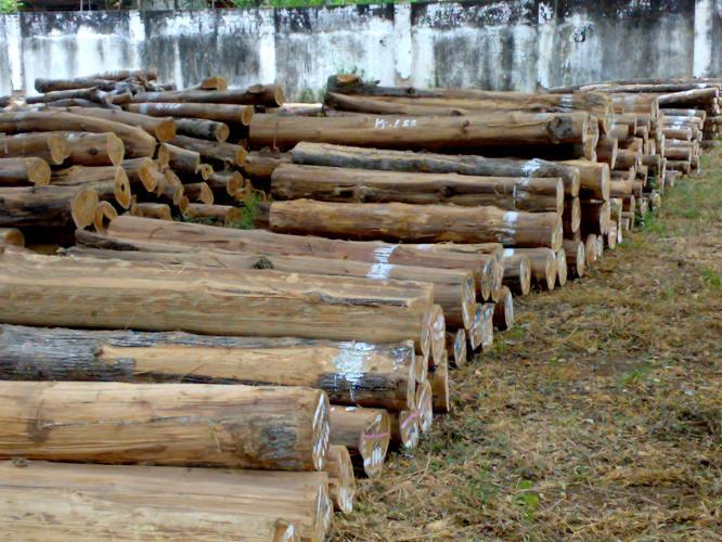 Kayu Jati Pohon Jati Kebun Jati Jati Foto Jati Log