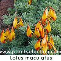 lotus maculatis