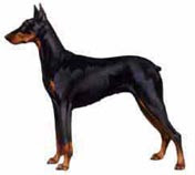 Dobermann (cola cortada)