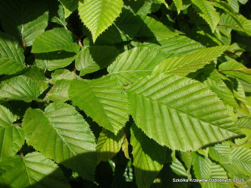 grab pospolity carpinus betulus szkółka STUS