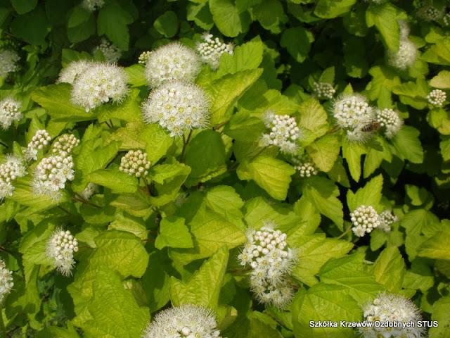 pęcherznicy kalinolistnej (Physocarpus opulifolius) 'Luteus'