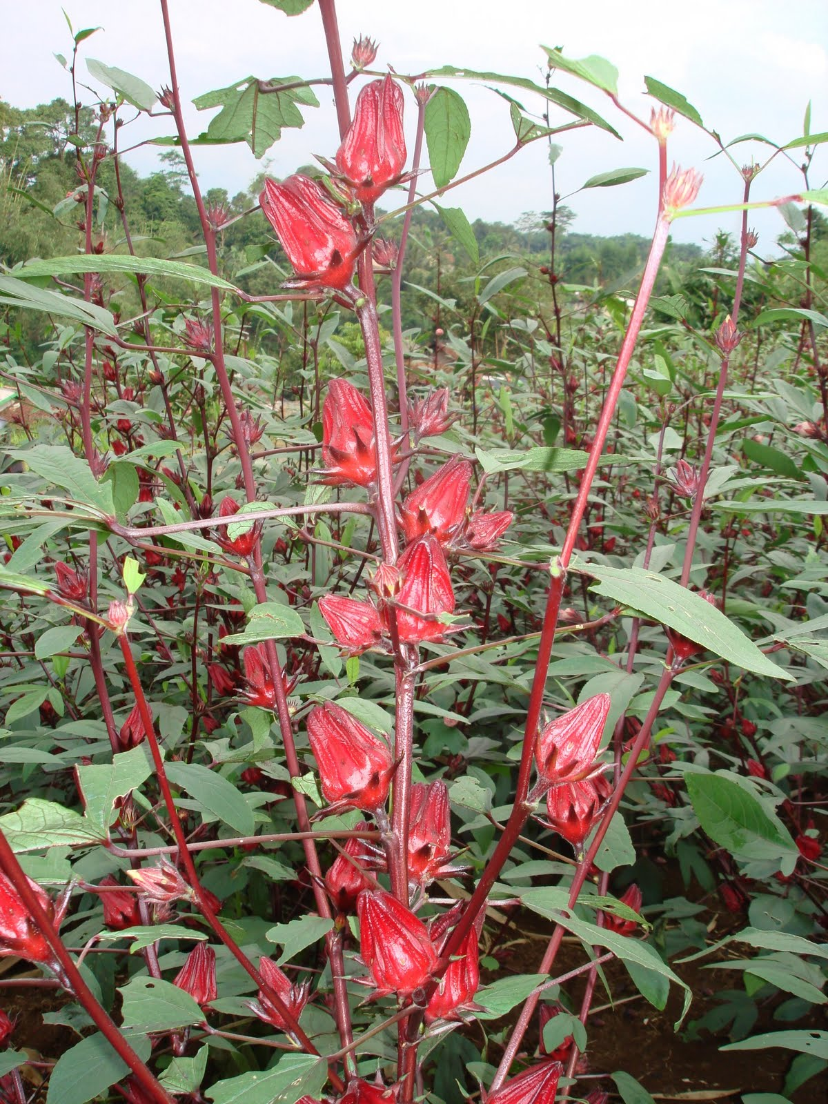 Manfaat Bunga Rosella Untuk Kesehatan dan Kecantikan