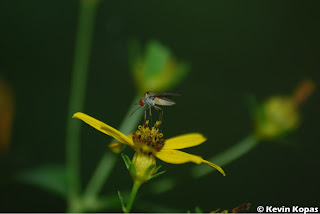 Mosquito on a flower; Shot by Kevin Kopas with a Nikon D80