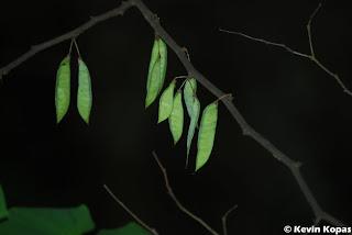 Pea Pods; Shot by Kevin Kopas with a Nikon D80