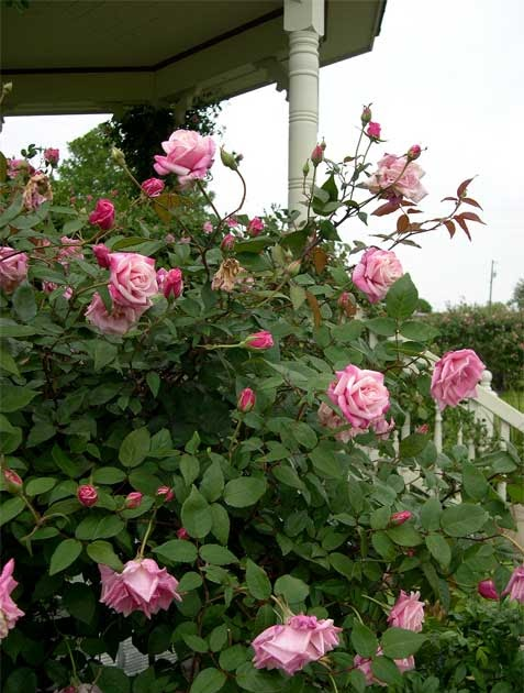 The Gardener Of Good And Evil A Visit To The Antique Rose