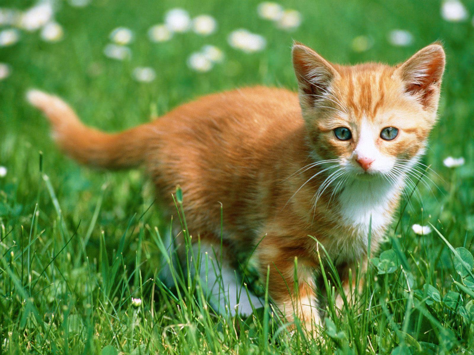 Kitten wallpapers - Kitten wallpaper ...