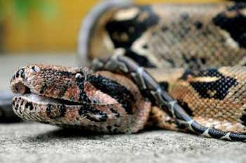 Nothing To Do With Arbroath Pet Boa Constrictor Strangles Owner