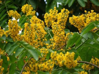 Native Myanmar Flowers Lovers Padauk Flowers