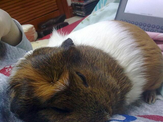 Crested guinea pig - photo#40