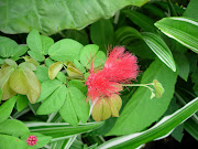 dwarf powder puff plant