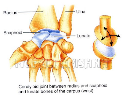 EAMCET Zoology: Joints - Images Condyloid Joint Examples