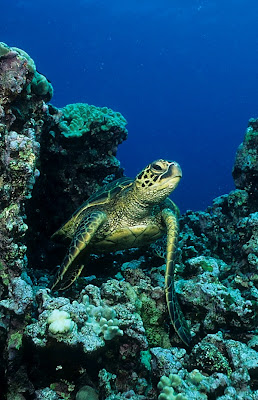 Hawaiian green sea turtle (Chelonia mydas)