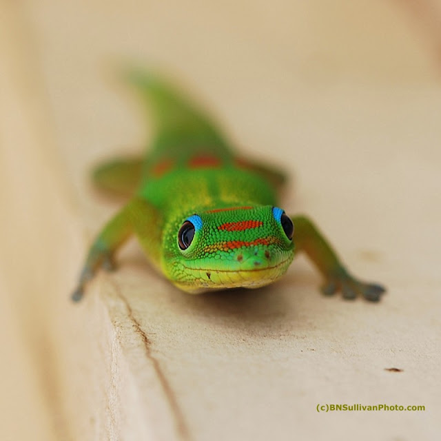 Gold Dust Day Gecko (Phelsuma laticauda laticauda)