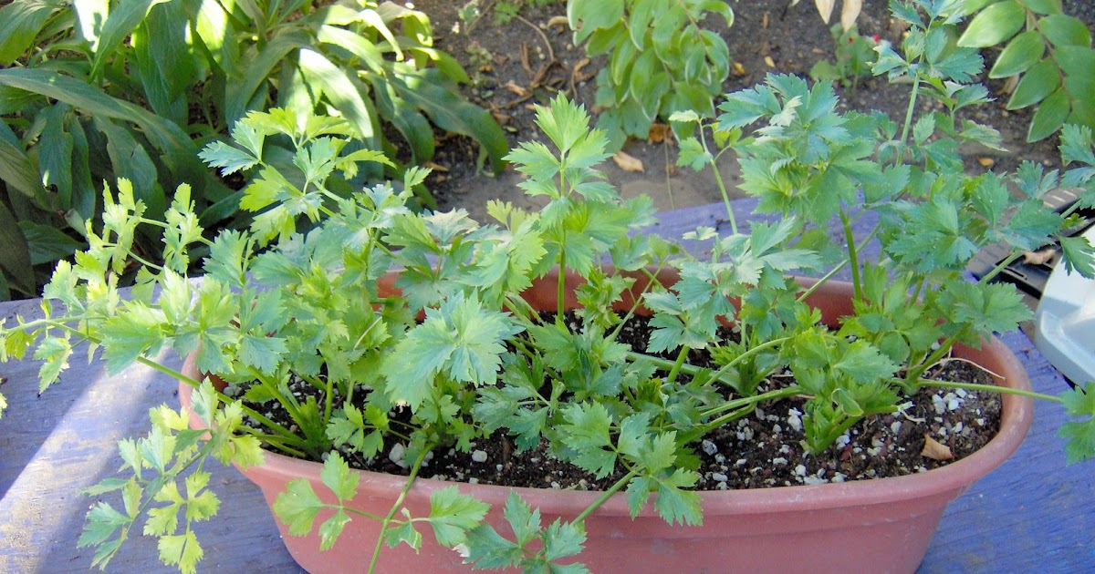how to grow celery from cuttings