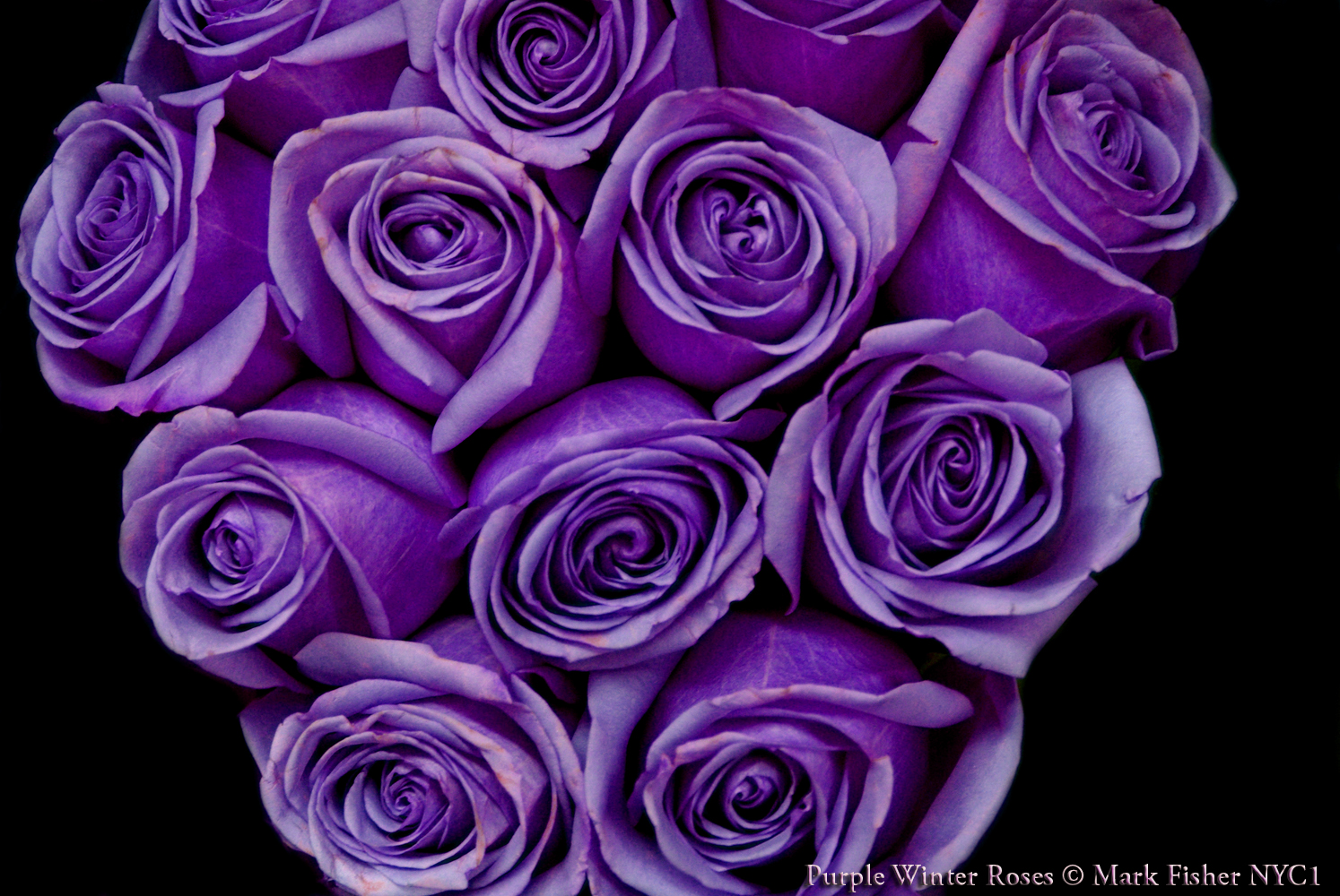 Purple Roses Background Images: Purple Winter Roses Flowers Design Wallpaper