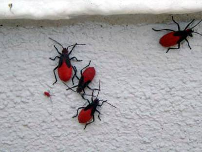 Bugs In My Living Room What Are They The Dis