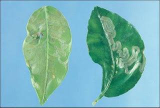 leafminer