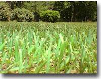 Argentine Bahiagrass