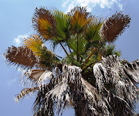 fusarium decline washingtonia
