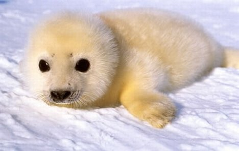 Edge Of The Plank: Cute Animals: Baby Harp Seals