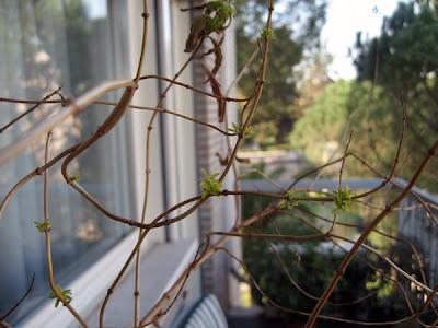 Chamomille tree