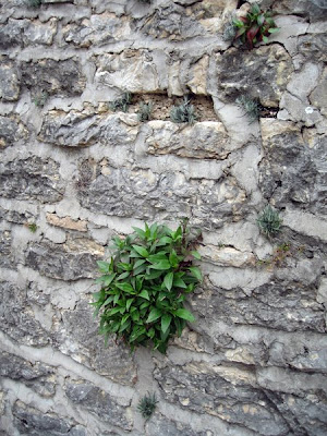 Plant in the fortress wall