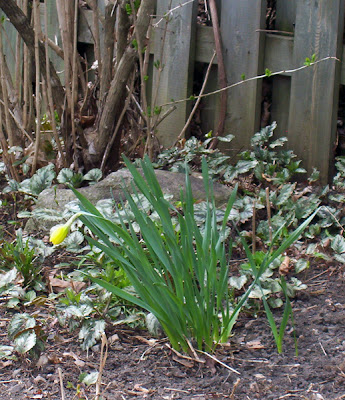 Almost a daffodil
