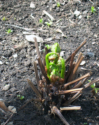 One of the ferns begins to bud