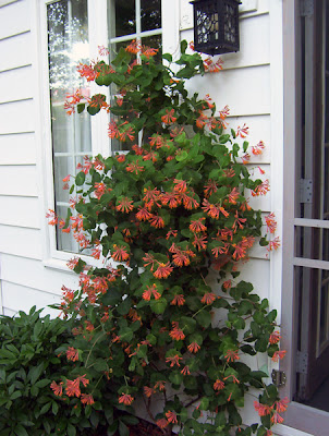 Honeysuckle vine in bloom