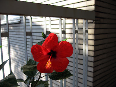 Betty Jean's Hibiscus