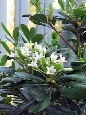 Frangipane or Jasmine