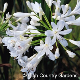 Vw Garden New Hardy Agapanthus For Zone 5
